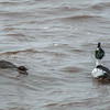 Common Goldeneye Courtship
