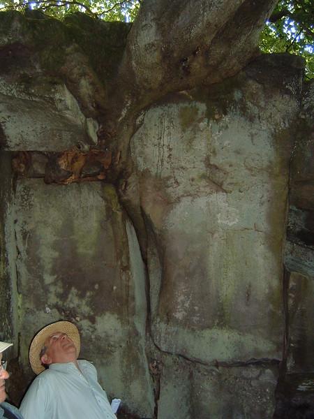 Tree root in Drybrook Sandstone