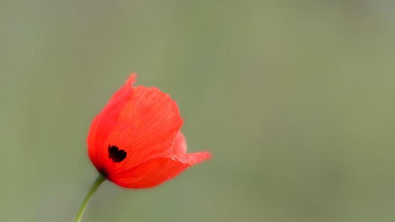 Common Poppy / Papaver rhoeas / Gewone klaproos