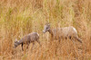 A Bighorn Sheep lamb and ewe travel through the grasses in Yellowstone National Park.