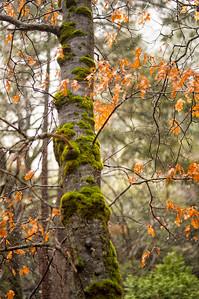Big Oak - Yosemite
