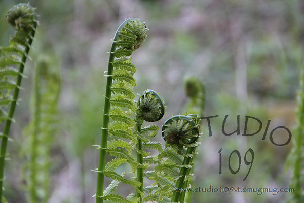 Spring Brings Fiddleheads