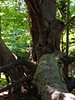 Ancient Maple, Maudslay