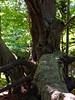 Ancient Maple, Maudslay