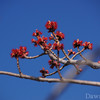 Red Maple Tree starting to bud April 2011