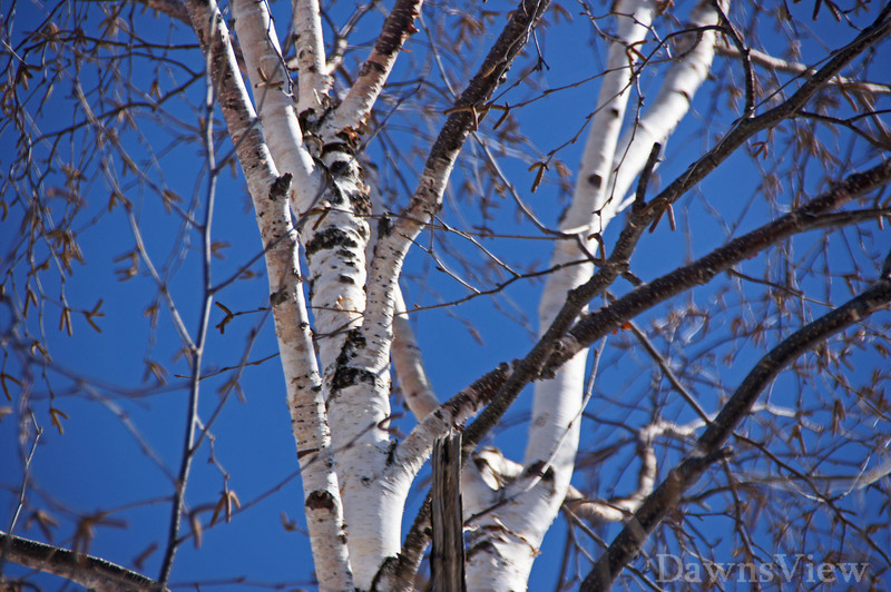 Birch tree in NH, March 2011