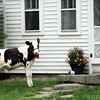 Baby calf at front door of owner's home-Francestown, NH 2008