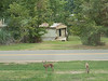 20160922 Deer in front yard KBD_1773