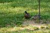_KD36839 2016-07-17 ducks at bird feeder