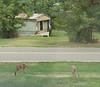 20160922 Deer in front yard KBD_1775