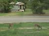 20160922 Deer in front yard KBD_1776