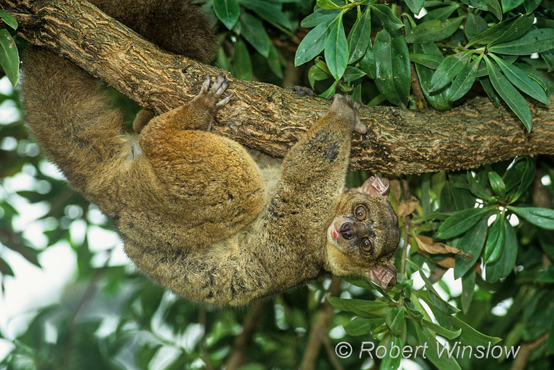 "Check out our recently updated Chimpanzee Gallery at <a href=""http://www.robertwinslowphoto.com/Animals/African-and-Asian-Animals-1/Primates-Misc-Monkeys/"">Primates-Misc</a><br> Greater Galago, aka Thick-tailed bushbaby, Otolemursp., controlled conditions"