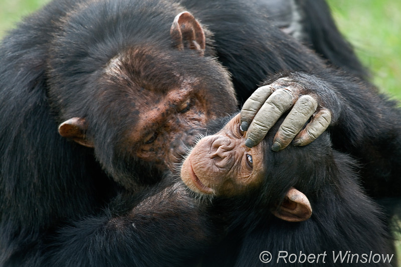 "Check out our recently updated Chimpanzee Gallery at <a href=""http://www.robertwinslowphoto.com/Animals/African-and-Asian-Animals-1/Chimpanzee/"">Primates-Chimpanzee</a><br> Chimpanzee (Pan troglodytes), Sweetwaters Chimpanzee Sanctury, Ol Pejeta Conservancy, Kenya, Africa"