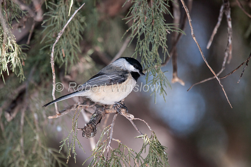 "Check out our new North American Birds-misc gallery at: <a href=""http://www.robertwinslowphoto.com/Animals/Birds/North-American-Birds-Misc/"">North American Birds-Misc</a><br> Black-capped Chickadee, Poecile atricapilla, La Plata County, Colorado, USA, North America"