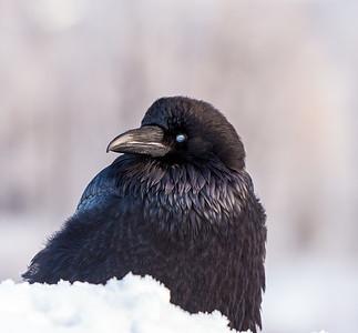 The Raven's Nictitating Membrane