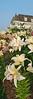 Bay Head Flowers vert 6x18 DSCF7208