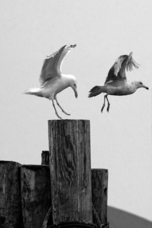Active Gulls BW 4x6 DSCF4425