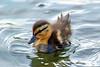 Baby Duck 6x9 DSCF5947