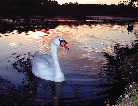 Swan sunsetDscn3147 8 5x11