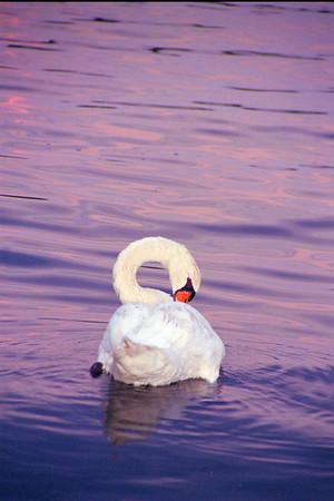 Swan Itch 12x18 IMG0038