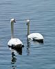 Twin Swans 8x10 DSCF0679