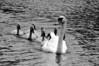 Swans approaching  B&W   DSCF4980