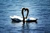 Lover Swans  12x18 GG DSCF0671