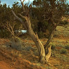Twisted juniper trees are very old because they grow slowly. They are elegant and expressive.