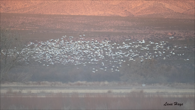 Snow Geese in light fog