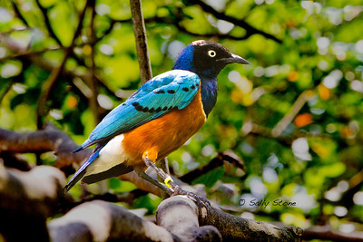 The Superb Starling is truly superb. This spectacular bird cannot hide in the foliage.