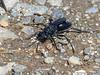 Cutworm Wasp, Podalonia sp. - Comox