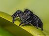 Jumping Spider, Phidippus purpuratus - Comox