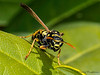 European Paper Wasp, Polistes dominula - Comox