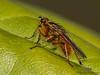 Golden Dung Fly, Scathophaga stercoraria - Comox