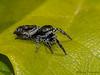 Jumping Spider, Salticidae - Comox