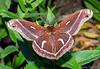 Ceanothus Silk Moth, Hyalophora euryalus