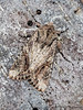 Dart moth, Egira rubrica - Miracle Beach
