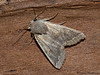 Quaker moth, Orthosia pacifica - Miracle Beach