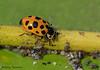 Thirteen-spotted Lady Beetle, Hippodamia tredecimpunctata