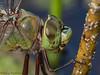Common Green Darner portrait<br /> , Anax junius