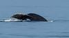 Humpback Whale tail fluke