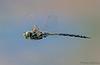 Canada Darner in flight, Aeshna canadensis