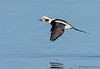 Long-tailed Duck in flight