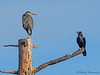 Great Blue Heron and Common Raven