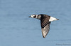 Long-tailed Duck female in flight