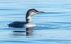 Common Loon winter