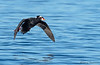 Surf Scoter in flight
