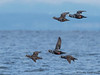 Harlequin Ducks in flight