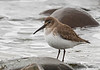 Dunlin winter