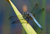 Blue Dasher, Pachydiplax longipennis - Little River Pond, Comox